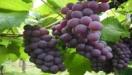 Canadá estabelece novas regras para importação de frutas